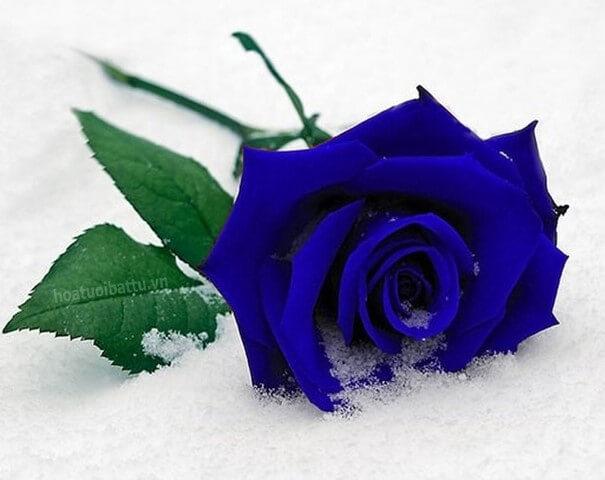 hoa-hong-xanh