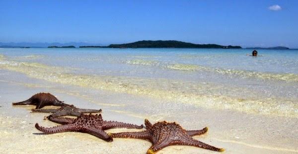 Sao biển nằm phơi nắng ngay trên bãi biển Cô Tô con